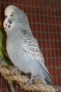 Fugle i volieren 022 (427x640)