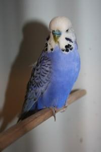 Roulade, mange fugle 036 (427x640)